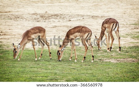 Eld's deer (Panolia eldii), also known as the thamin or brow-antlered deer, is an endangered species of deer indigenous to Southeast Asia. Natural scene. - stock photo
