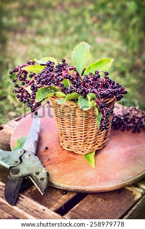 elder berries bunch with leaves in basket and old pruner  on garden green background - stock photo