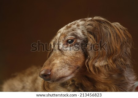 Elder dappled longhair dachshund in close up with red-brown background