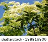 Elder is commonly used in herbal medicine. Good for respiratory problems. - stock photo