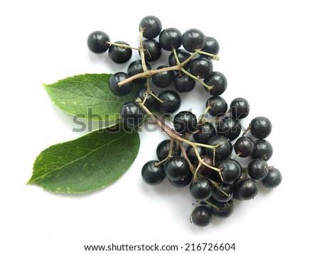 Elder (Sambucus nigra) - stock photo