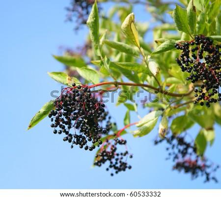 elderberries on a tree - stock photo