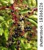 Elderberry - stock photo