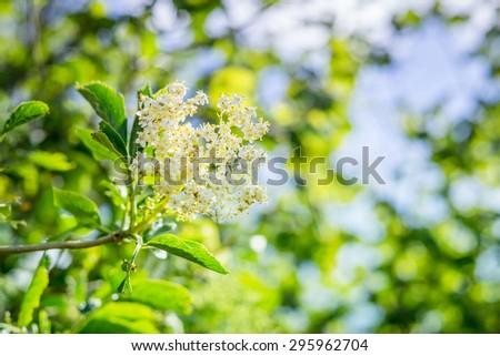 Elderberry flower in fresh green nature - stock photo
