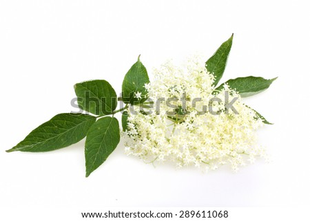 Elderberry flower on a white background - stock photo