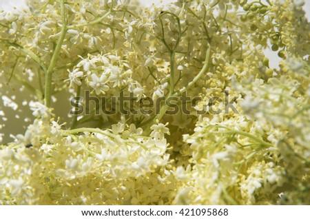 elderberry,flowers,elderberry flowers,garden,season,park,outdoor,botany,nature,health,small florets, - stock photo