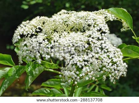 Elderberry flowers in Mississippi - stock photo