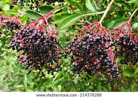 Elderberry fruit fresh healthy herb - stock photo