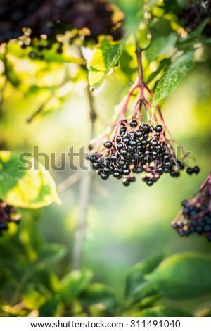 Elderberry fruit on Tree over green garden outdoor background - stock photo