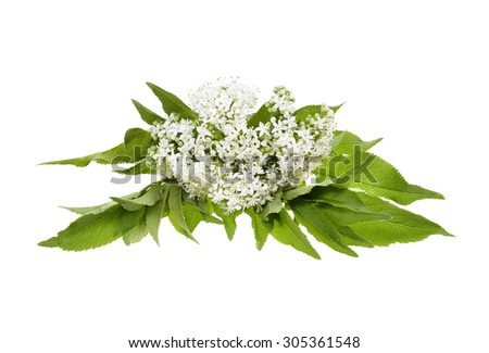 Elderberry or sambucus nigra  flower isolated on white background - stock photo