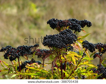 Elderberry, Sambucus Berries tree with fruit in the garden - stock photo