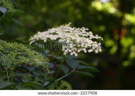 Elderflower (Elder Plant) in spring/summer flowers on leafy background
