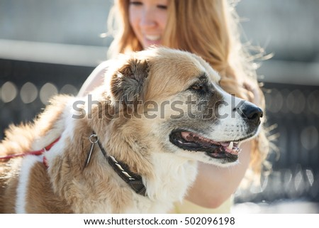Elderly dog Alabai in the city with the hostess