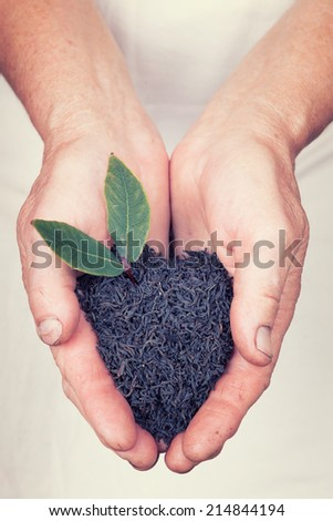 Elderly hands holding organic black tea with leaf with vintage style