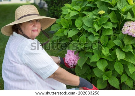 Elderly lady weeding around a hydrangea bush in her garden turning to give the camera a warm friendly smile - stock photo