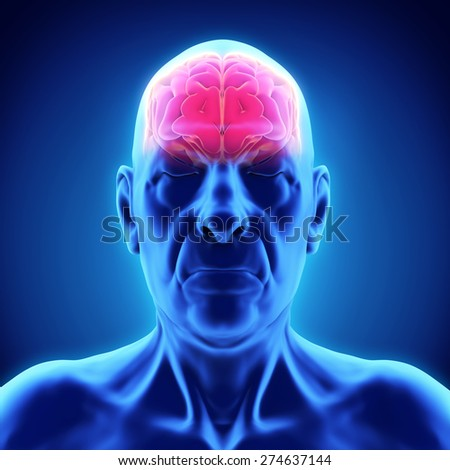 Elderly Male Brain Anatomy - stock photo