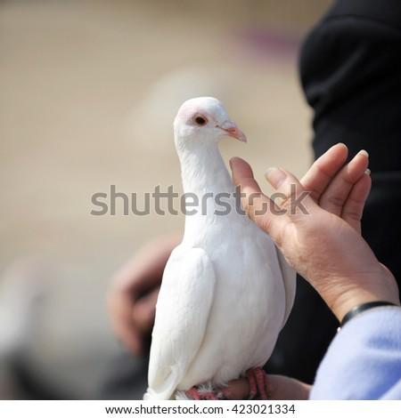 Elderly man holding a white dove. - stock photo
