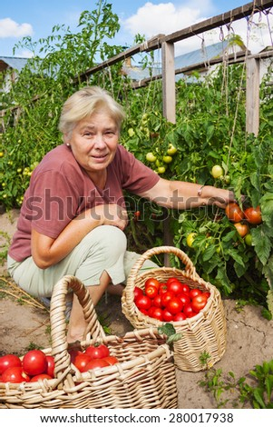 Elderly mistress of kitchen garden reaps crop tomatoes