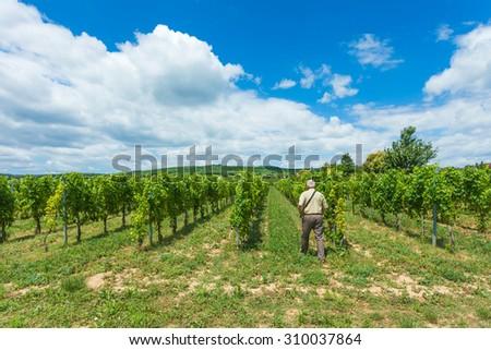 Elderly winemaker walking between rows of grapevine. - stock photo