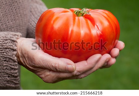 Elderly woman hand holding a giant red tomato - stock photo