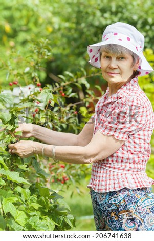 Elderly woman pick up black currant in own orchard