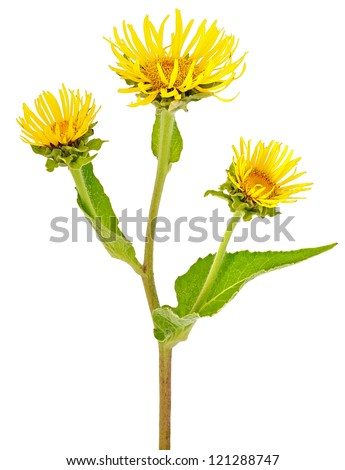 Elecampane (Inula helenium) flower isolated on the white background