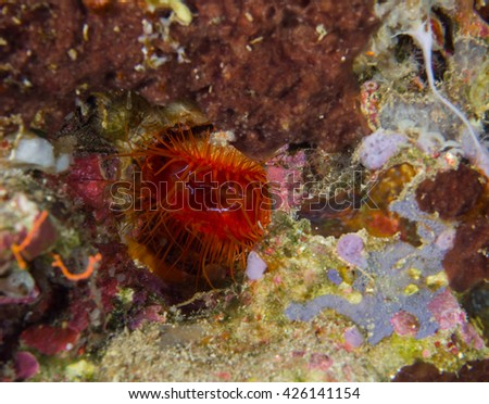 Electric Clam, Mengengan Island Bali Indonesia - stock photo