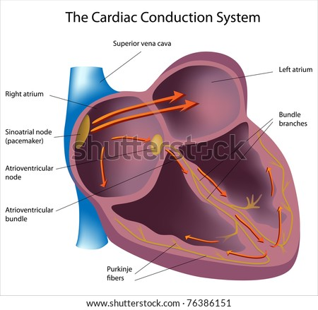cardiac muscle stock images, royalty-free images & vectors, Muscles