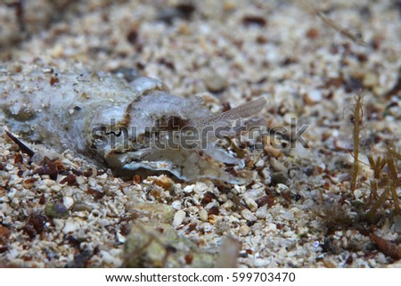 Elegant cuttlefish (Sepia elegans) hunting for small crustaceans in the Mediterranean Sea