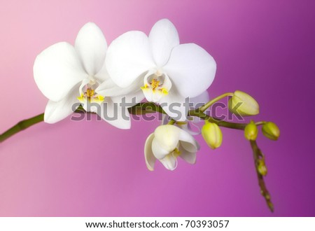 Elegant flower, white orchid on pink background. - stock photo