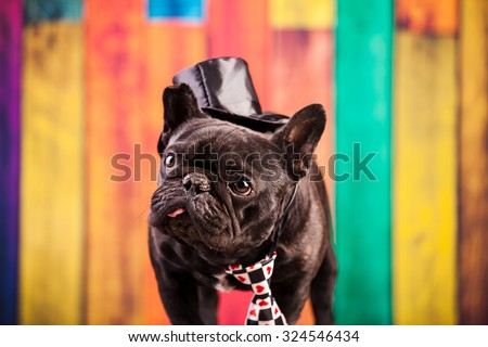 elegant french bulldog with necktie - stock photo