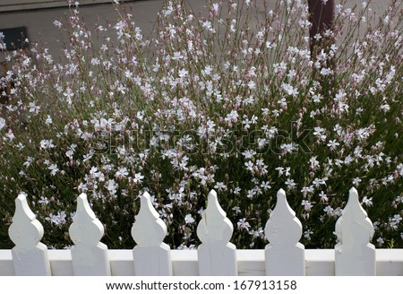 Elegant gaura species of Australian Butterfly Bush  with pink and white  flowers  in bloom behind a white picket fence   adds charm to the cottage garden land scape attracting butterflies and bees. - stock photo