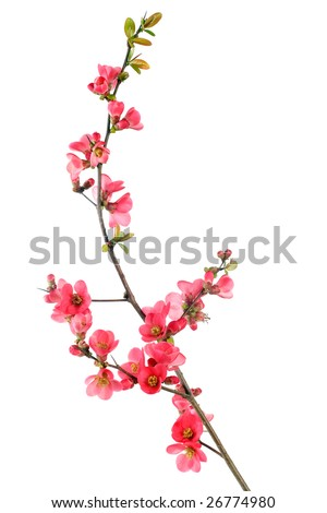 elegant japanese quince branch blossom isolated on white - stock photo