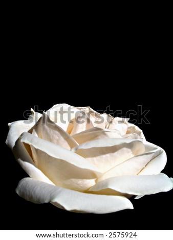 Elegant photo background with white rose over black. - stock photo