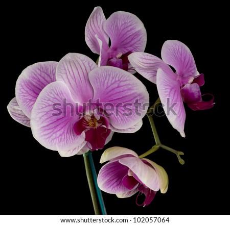 Elegant pink & white orchids isolated on black background - stock photo