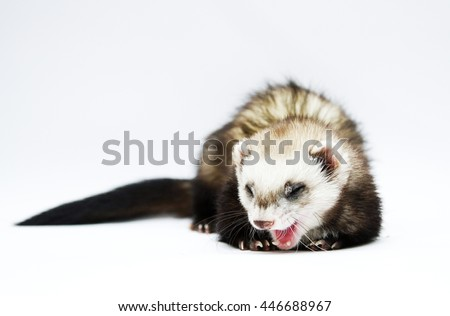 elegant portrait of young, bored, playful, funny, comic, healthy ferrets and yawning on an isolated white background