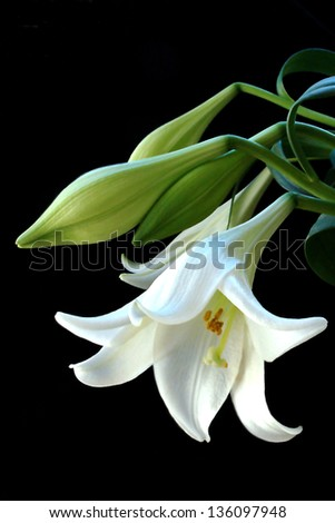 elegant still life, flower, mature white lily with buds on a black background