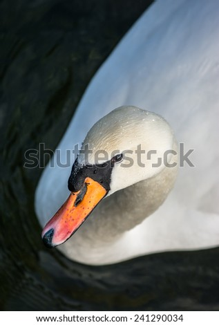 Elegant Swan - stock photo