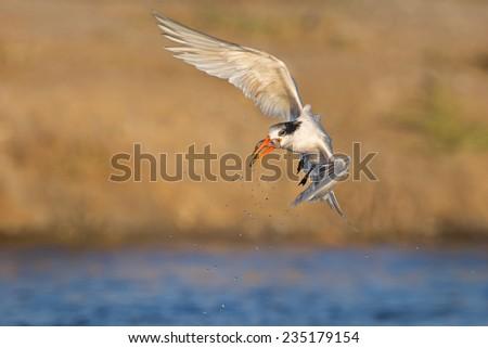 Elegant Tern - stock photo