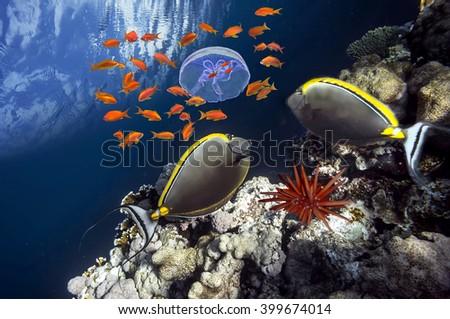 Elegant unicornfish (Naso elegans) ana jellyfish in Red Sea, Egypt - stock photo