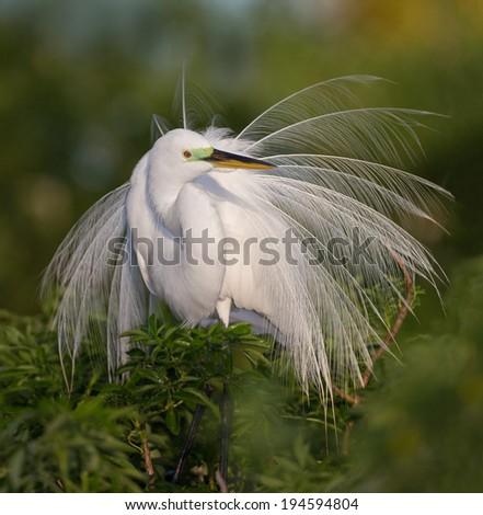 Elegant white egret in full breeding plumage - stock photo
