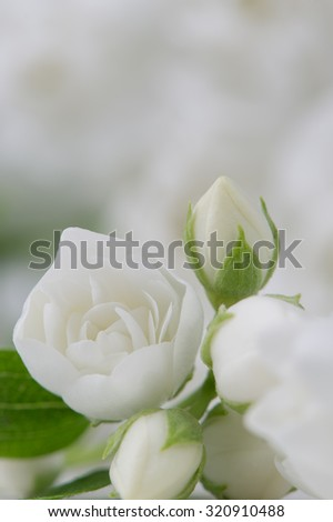 Elegant White Jasmine Flowers - stock photo