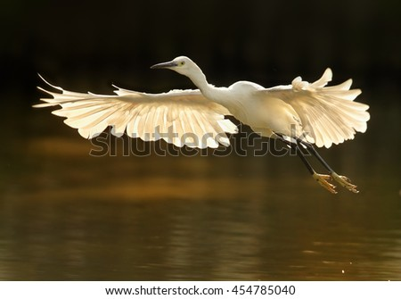 Elegant white Little Egret, Egretta garzetta in flight. Bird with outstretched wings in backlight against dark background. Wetland Camargue, France.