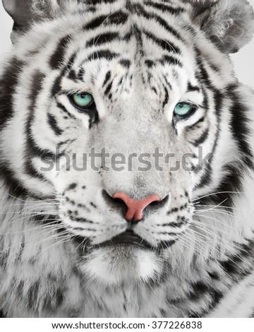 Elegant white tiger portrait - stock photo