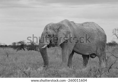 Elephant, African - Wildlife Background - Beautiful Bull