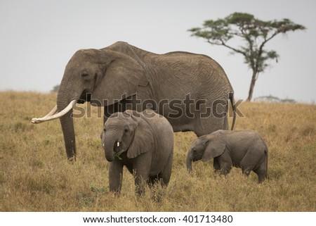 elephant and babies in the savannah. Africa. Kenya. Tanzania. Serengeti. Maasai Mara. - stock photo