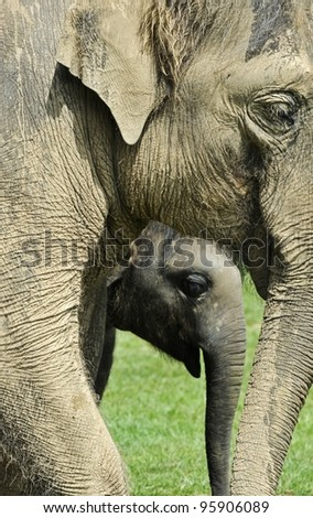 Elephant and calf - stock photo
