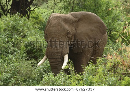 Elephant and green vegetation in Tanzania (Africa) - stock photo