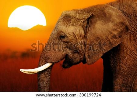 Elephant at African Sunset Background - stock photo