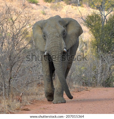 elephant at attack - stock photo